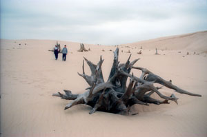 A ghost forest (trees killed by migrating dunes) in Silver Lake State Park.